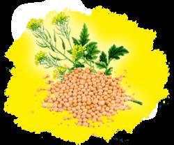 Семена сидератов