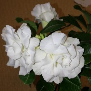 Адениум (Obesum) Белая Роза - Семена Тут
