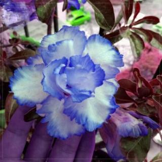 Адениум (Obesum) Голубой - Семена Тут