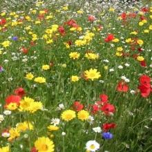 Газонная трава Цветочная поляна (мавританский газон) (100гр) - Семена Тут