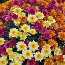 Хризантема (индийская) Корейская смесь - Семена Тут