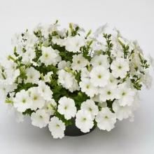 Петуния Нуволари Белая F1 (Партитуния) - Семена Тут