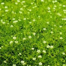 Мшанка шиловидная Ирландский мох - Семена Тут