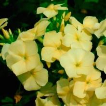 Флокс Друммонда Лимонное чудо - Семена Тут