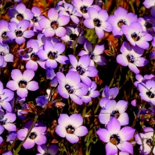 Гилия трехцветная Бэтти - Семена Тут