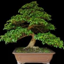 Бирючина японская (Ligustrum JAPONICUM) - Семена Тут
