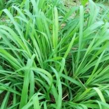 Лимонная трава Цитронелла - Семена Тут