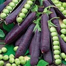 Горох Пурпурный король - Семена Тут
