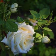 Роза Многоцветковая Белая - Семена Тут