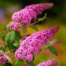 Буддлея Видовая розовая - Семена Тут