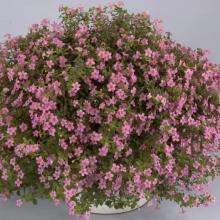 Бакопа Розовая лавина - Семена Тут