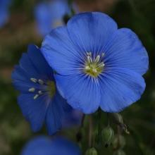 Лен Атласный голубой (Удачные семена) - Семена Тут