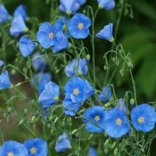 Лен Голубой крупноцветковый - Семена Тут