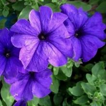 Комплиментуния голубая F1 крупноцветковая - Семена Тут