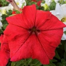 Комплиментуния красная F1 крупноцветковая - Семена Тут
