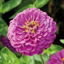 Цинния Исполин пурпурный - Семена Тут