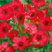 Лен Рубрум крупноцветковый - Семена Тут