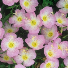 Энотера красивая Орхидно-розовая - Семена Тут