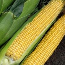 Кукуруза Хрум-Хрум - Семена Тут
