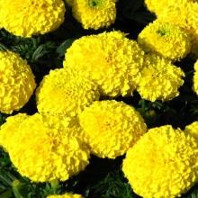 Бархатцы Желтый камень - Семена Тут