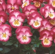 Виола Великолепие розовое F1 Виттрока - Семена Тут
