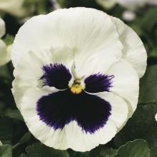 Виола Белая с глазком - Семена Тут