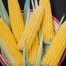 Кукуруза Кубанская консервная 148 - Семена Тут