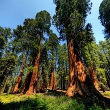 Секвойядендрон гигантский (Мамонтово дерево) - Семена Тут