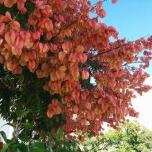 Кёльрейтерия Розовая гирлянда метельчатая - Семена Тут
