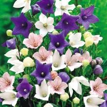 Платикодон крупноцветковый смесь - Семена Тут