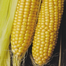 Кукуруза Тройная сладость - Семена Тут
