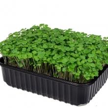 Микрозелень Брокколи мини - Семена Тут
