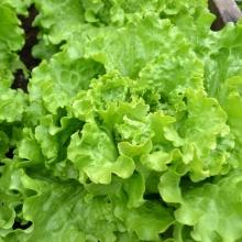 Салат Изумрудный листовой - Семена Тут