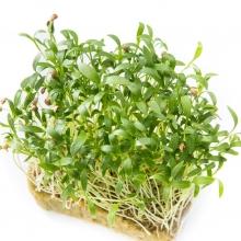 Микрозелень Кориандр овощной Микс - Семена Тут