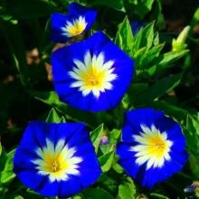 Вьюнок Пилигрим трехцветный (Удачные Семена) - Семена Тут