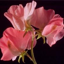 Душистый горошек Розовый жемчуг - Семена Тут