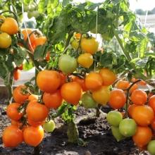 Томат Непас 4 Непасынкующийся Оранжевый Сердцевидный