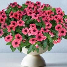 Катарантус розовый (Винка) Тату Папайя - Семена Тут