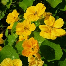 Настурция Лимонный мармелад крупноцветковая махровая - Семена Тут