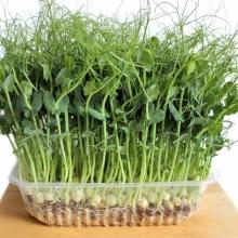 Микрозелень Зеленый горошек - Семена Тут