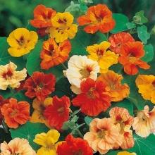 Настурция Мармелад смесь крупноцветковая махровая - Семена Тут