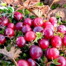 Клюква крупноплодная  Рубиновая россыпь - Семена Тут