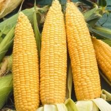 Кукуруза Царица - Семена Тут
