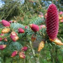 Ель ликиангинская (Picea likiangensis) - Семена Тут