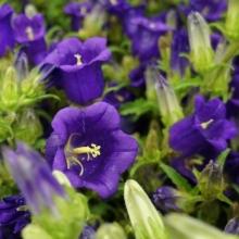 Колокольчик Фиолетовое сияние - Семена Тут