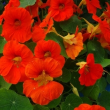 Настурция низкорослая Аляска оранжевая - Семена Тут