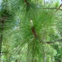 Сосна Изумрудный гейзер болотная - Семена Тут