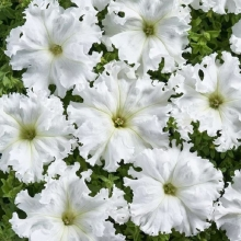 Петуния Афродита F1 белая крупноцветковая - Семена Тут