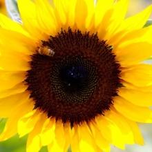 Подсолнечник Солнечный круг - Семена Тут