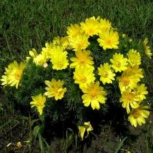 Горицвет амурский Весенний лучик - Семена Тут